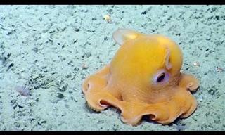 Adorable - Cute Octopus is TOO Shy!