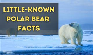 The Great White Bear of the North is a Fascinating Animal!