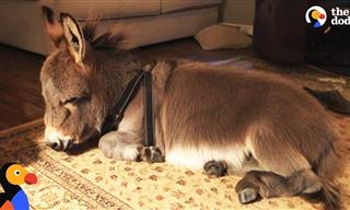 Adorable and Hilarious: This Tiny Donkey Thinks He's a Dog
