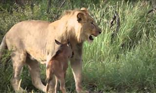 Incredible Footage of a Kind-Hearted Lion