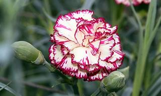 These 20 Beautiful Carnations Will Leave You Stunned