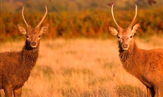 The Deer of London's Richmond Park