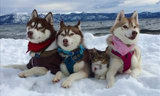 Beautiful Story: This Kitten Was Adopted By A Husky!