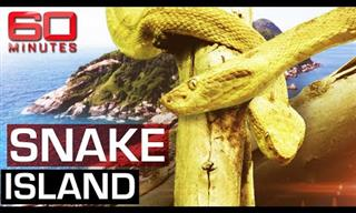 Snake Island: The Most Dangerous Spot on Earth