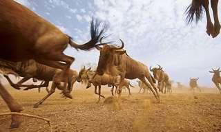 Big Migration Of Animals