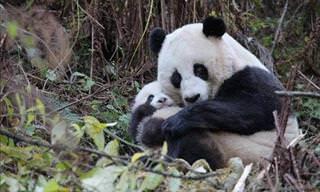 15 Interesting Panda Facts