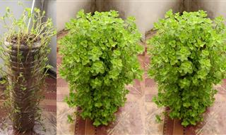 What a Clever Trick - Reusing Plastic Bottles to Grow Mint