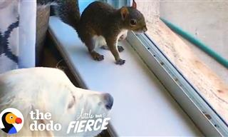 Adorable! This Baby Squirrel Grew Up With a Pack Of Dogs…