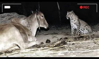 Stranger than Fiction – When a Leopard Befriended a Cow