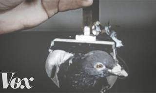 Pigeon Power: Why These Birds Need to Be Admired