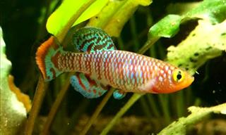 African Killifish May Hold the Key to Human Longevity
