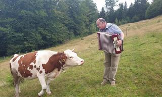 Hilarious - Did You Know That Cows Love Accordion Music?