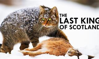 Scottish Highlands Wildcats Are SUCH Fascinating Animals!