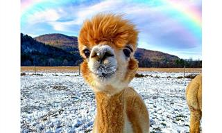 Alpacas Are the Underrated Cuties of the Animal World