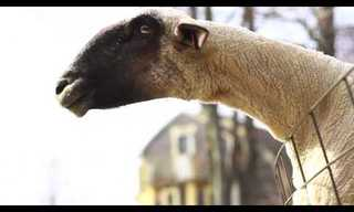 The Melodic Voice of the Common Goat - Hilarious!