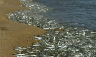 Watch a Massive School of Fish Mating on Land