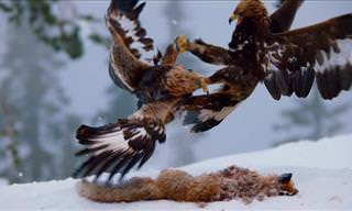 Golden Eagles Fighting for Food!