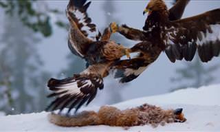 Golden Eagles Fighting for Food!