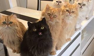 12 Persian Cats Under One Roof