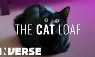 Why Do Cats 'Loaf'?