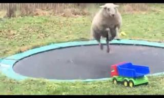 When Sheep Meets Trampoline Hilarity Happens!