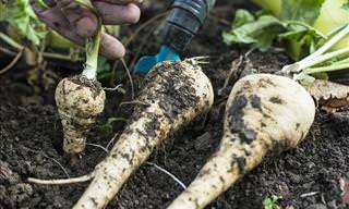 6 Fantastic Health Benefits of Parsnips