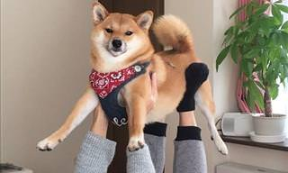 Shiba Inu Photos That Will Make You Smile