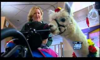 The Therapy Llama Visits the Hospital