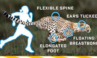 Is It Possible For Humans To Ever Be As Fast As Cheetahs?