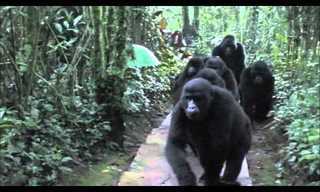 Touched by A Gorilla - Amazing!