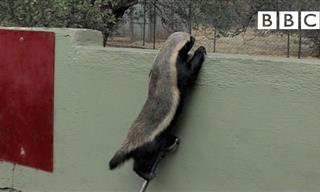 Houdini Is Back, And He's a Honey Badger Now!