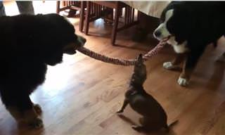 Watch These Dogs Battle it Out in a Game of Tug of War