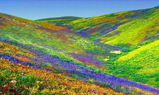 The World's Brightest Flower Fields