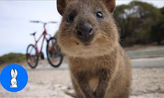 Quokkas Are Some of the Cutest Animals Imaginable!