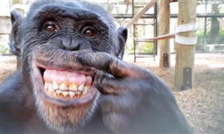 Hilarious - Chimp Recognizes Itself in the Mirror