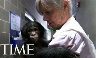 Meet the Bonobo Monkeys, Our Closest Living Relatives