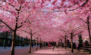 Magical Cherry Blossom Scenery