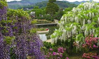 Who Wouldn't Want to Visit the Ashikaga Flower Park