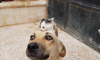 Kitten Meets Dog and a Cute Friendship Blossoms