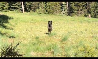 SAFETY TIPS: What To Do When You Encounter A Wolf