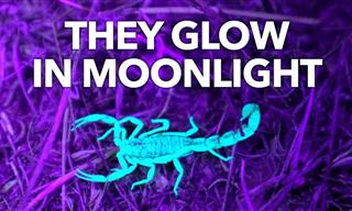 Did You Know That Scorpions Glow Under Ultraviolet Light?