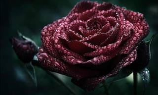 Each Color of the Rose Has a Special Meaning