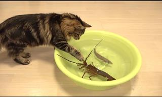 Gang of Cats vs Lobster - Who Will Emerge Victorious?