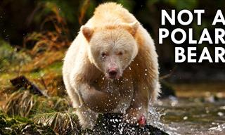The Rare, Elusive Spirit Bears are Fascinating Animals!