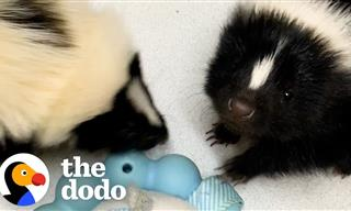 This Baby Skunk Has SO Much Personality!