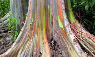 The Rainbow Eucalyptus