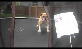 What's More Fun Than a Dog and His Trampoline?