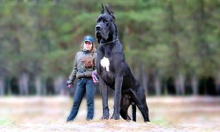 10 Dog Breeds That Are As Huge As They Are Adorable