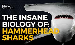 Hammerhead Sharks - Eevolution's Strangest Turn