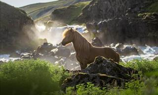 The Untamed Beauty of Icelandic Horses in 21 Stunning Photos